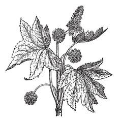 Oriental Sweetgum or Liquidambar orientalis, vintage engraving