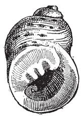 Periwinkle or Littorina sp., vintage engraving