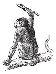 Macaque or Macaca sp., vintage engraving