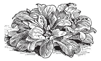 Corn Salad or Valerianella locusta, vintage engraving