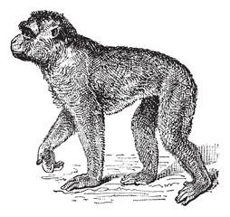 Barbary Macaque or Macaca sylvanus, vintage engraving