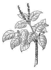 Manchineel or Hippomane mancinella, vintage engraving