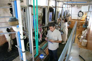 Farmers milking cows on dairy farm
