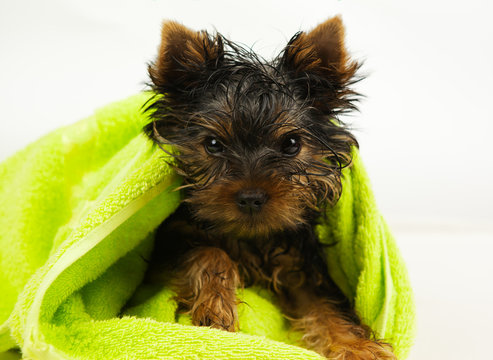 Puppy of the Yorkshire Terrier muffled wet in green towel