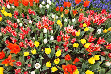 Garden filled with colorful tulips in springtime