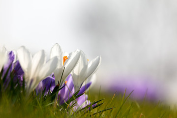 White and purple spring crocus with a white background with room