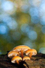 Winter mushrooms (velvet foot) on an old trunk with a blurred co