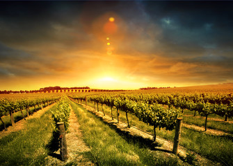 Aluminium Prints Vineyard Stunning Vineyard Sunset