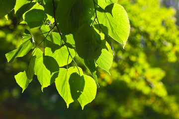 Close up of green linden leaves