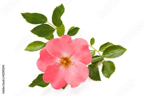 rosa canina stockfotos und lizenzfreie bilder auf bild 42199294. Black Bedroom Furniture Sets. Home Design Ideas