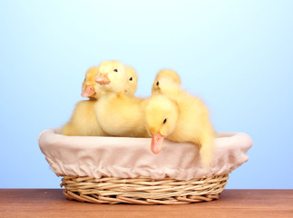 Duckling in basket on wooden table on blue background