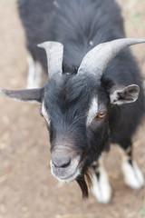 A black goat close up