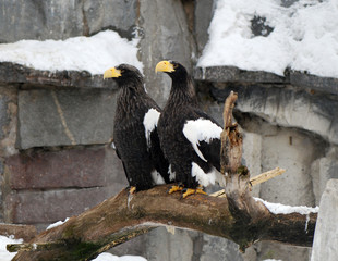 Two proud eagles
