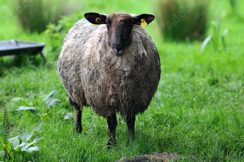 un mouton d 39 irlande photo libre de droits sur la banque d 39 images image 42229645. Black Bedroom Furniture Sets. Home Design Ideas