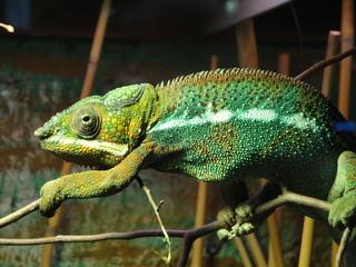 Door stickers Chameleon Kameleon2