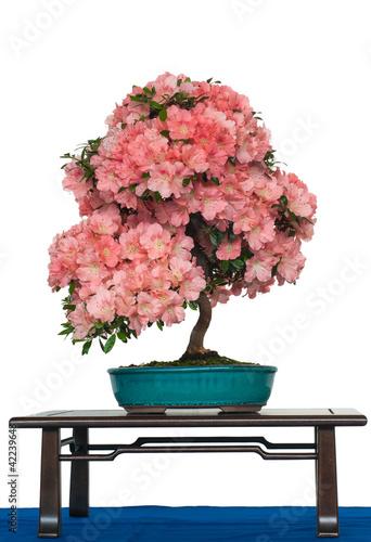 azalee mit bl ten als bonsai baum stockfotos und lizenzfreie bilder auf bild. Black Bedroom Furniture Sets. Home Design Ideas
