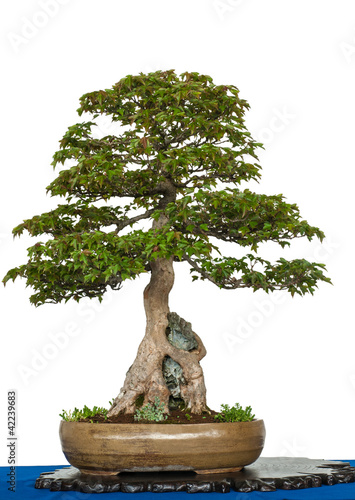 ahornbaum ber einen felsen als bonsai baum stockfotos und lizenzfreie bilder auf. Black Bedroom Furniture Sets. Home Design Ideas