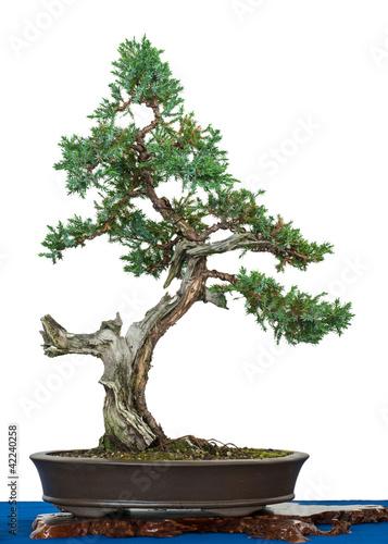 blauzeder wacholder juniperus squamata als bonsai baum stockfotos und lizenzfreie bilder auf. Black Bedroom Furniture Sets. Home Design Ideas