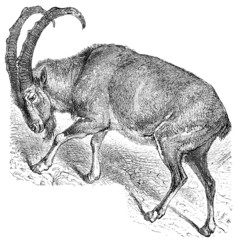 Wild goat (Capra aegagrus).