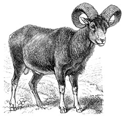 Mouflon (Ovis musimon).