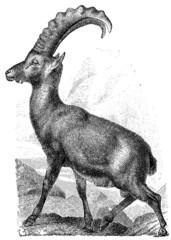 Alpine ibex, (Capra ibex).