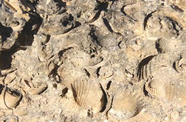 fósiles de conchas