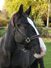 Black Horse Head Shot