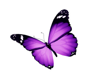 Violet butterfly flying, isolated on white