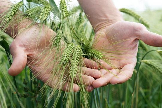 Heranreifender Roggen Bauer hält seine Hände über das Getreidefeld