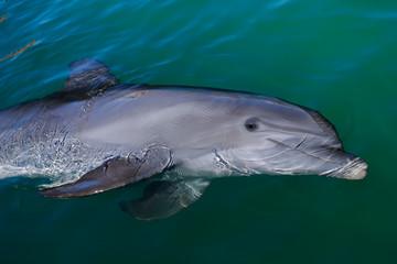 Fond de hotte en verre imprimé Dauphins Playful dolphin