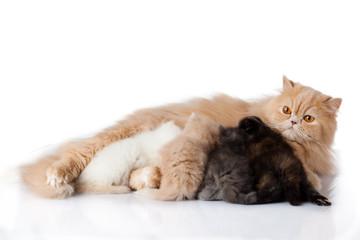 Photo sur Aluminium Chat Cat nursing her kittens.The cat feeds a kittens.