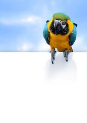 Blue-and-yellow Macaw Ara ararauna on blue sky background