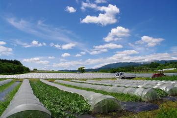 村山西瓜畑
