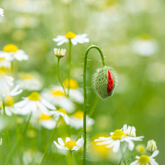 Wall Mural - Poppie bud and chamomile flowers in a meadow
