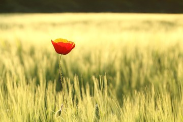 Wall Mural - Lonely poppy in a field at dusk