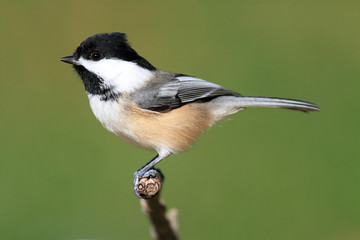 Fotoväggar - Chickadee on a Branch