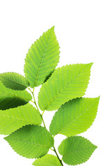 Green elm leaves isolated on white