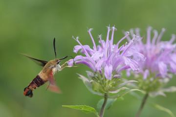 Fotoväggar - Common Clearwing Moth