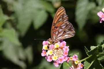 Fotoväggar - Gulf Fritillary (Agraulis vanillae)