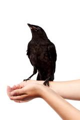 Fototapete - Black bird on hands