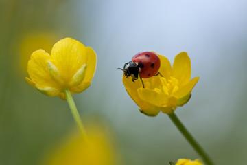 Photo sur Aluminium Coccinelles Ladybug on buttercup flower, macro photo