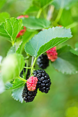 The fruit of black mulberry