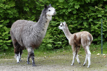 Nachwuchs Junge bei den Alpakas Mutter und Tochter,