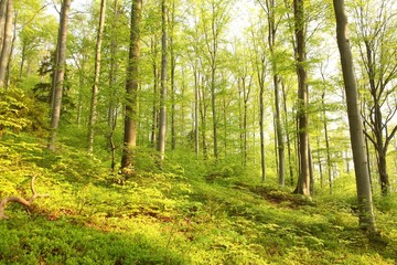 Spring beech forest in the May morning