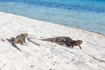 Cyclura nubila, Cuban rock iguana, or Cuban ground iguana