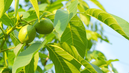 Two green walnuts