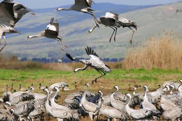 wild gray crane