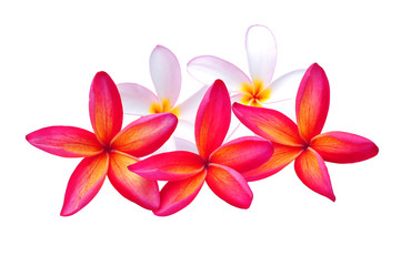 Plumeria isolated on white