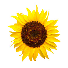 Isolate of Sun flower
