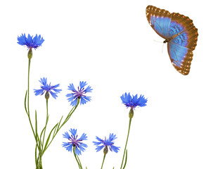 blue chicory flowers and butterfly